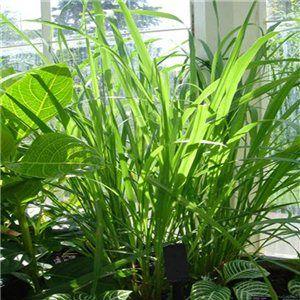 Citronová tráva ( Cymbopogon citratus ) cca 35 semen