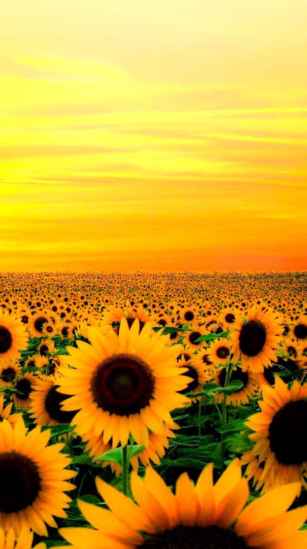 Surrounded Sunflower Wallpaper Flower Background Wallpaper Sunflower Pictures
