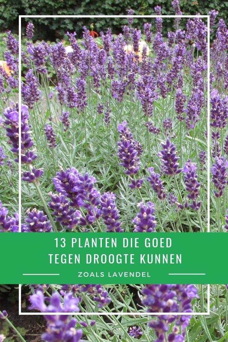 Verwonderend 13 planten die goed tegen droogte en droge grond kunnen (met KU-47