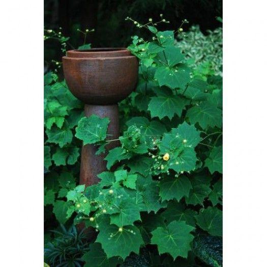 Kirengeshoma palmata - Perennials - Avant Gardens Nursery & Design