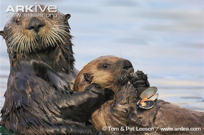 Sea Otters have a number of adaptations that allow them to live comfortably in the ocean, the most fully aquatic of all otter species. Description from observationdeck.kinja.com. I searched for this on bing.com/images
