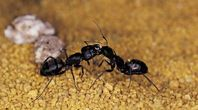 Home Remedies to Get Rid of Small Black Ants In a Home Kitchen   eHow