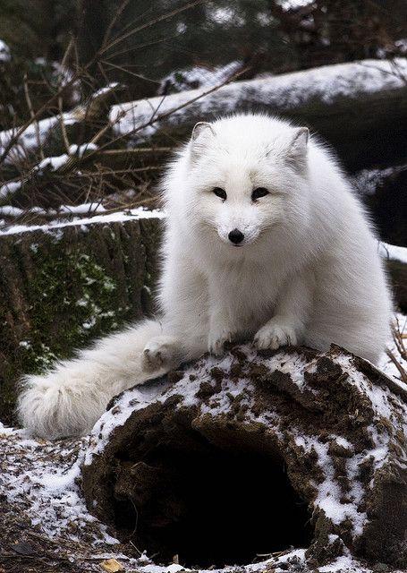 arctic fox, Woodland Park Zoo, Seattle, Washington