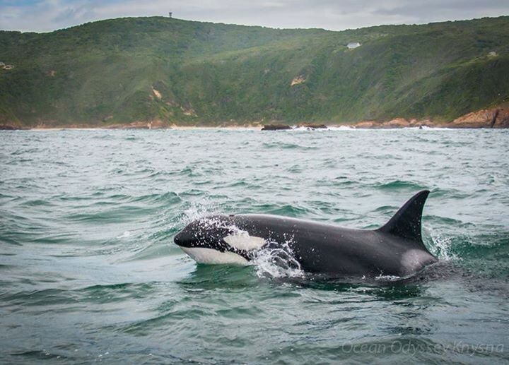 Killer Whales by Knysna Heads, Western Cape, South Africa. BelAfrique your personal travel planner - www.BelAfrique.com