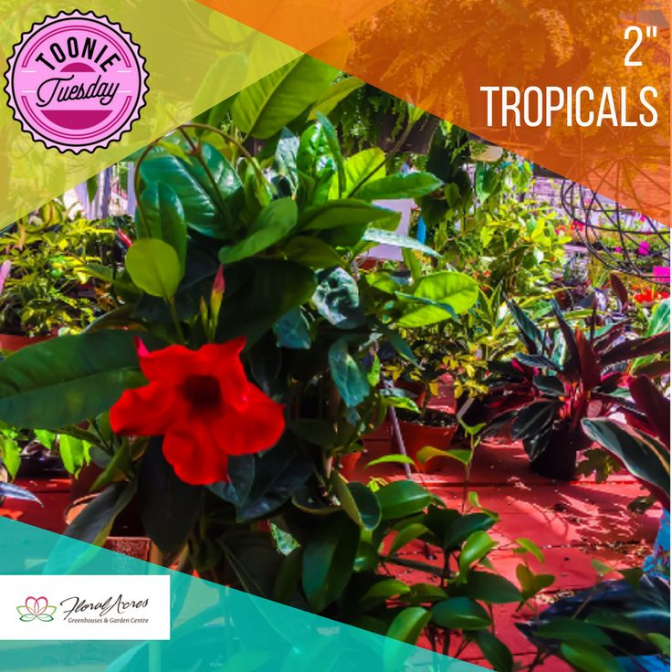 "Check out our amazing Toonie Tuesday special for this week! All 2"" Tropicals are on sale for only $2! www.floralacres.ca"