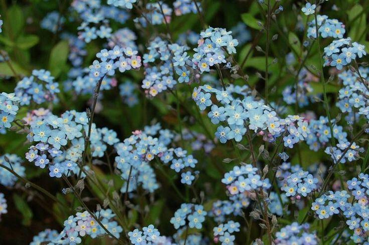 NON TI SCORDAR DI ME. Durante l'epoca vittoriana (1837-1901) l'interpretazione del linguaggio dei fiori lo collegò alla fedeltà del vero sentimento amoroso duraturo e indimenticabile.