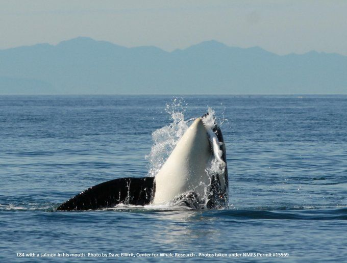 Don't Let Orcas Be Dammed! - WDC