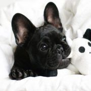 All Black French Bulldog puppy.