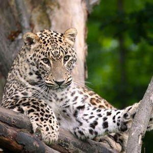 Imágenes de leopardos