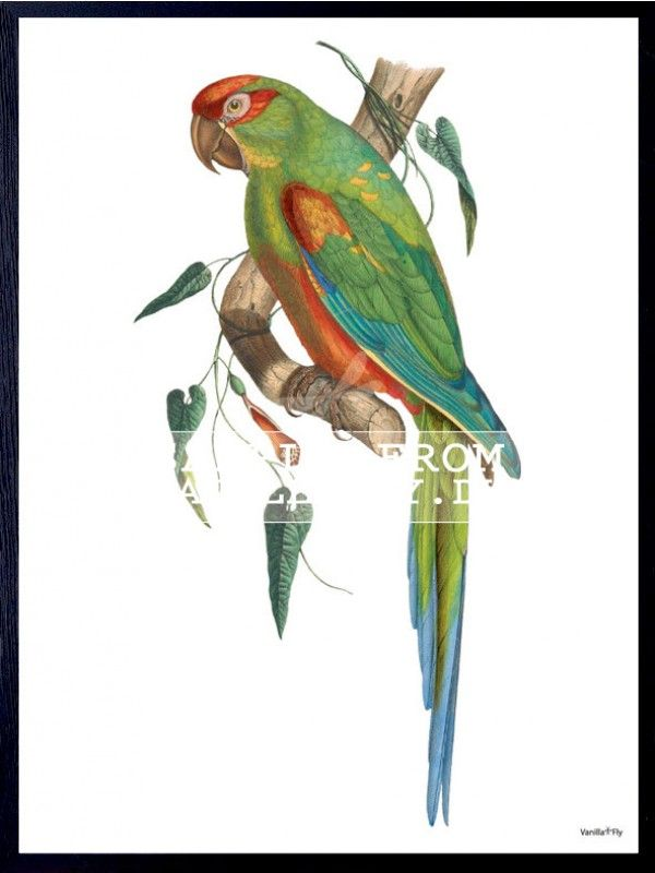 POSTER GREEN PARROT (3-PACK) #PSC93