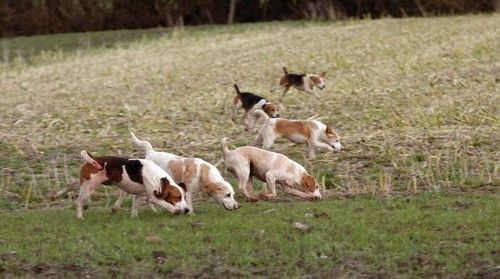 Beagles - Hunting