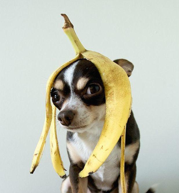 Chihuahua Halloween