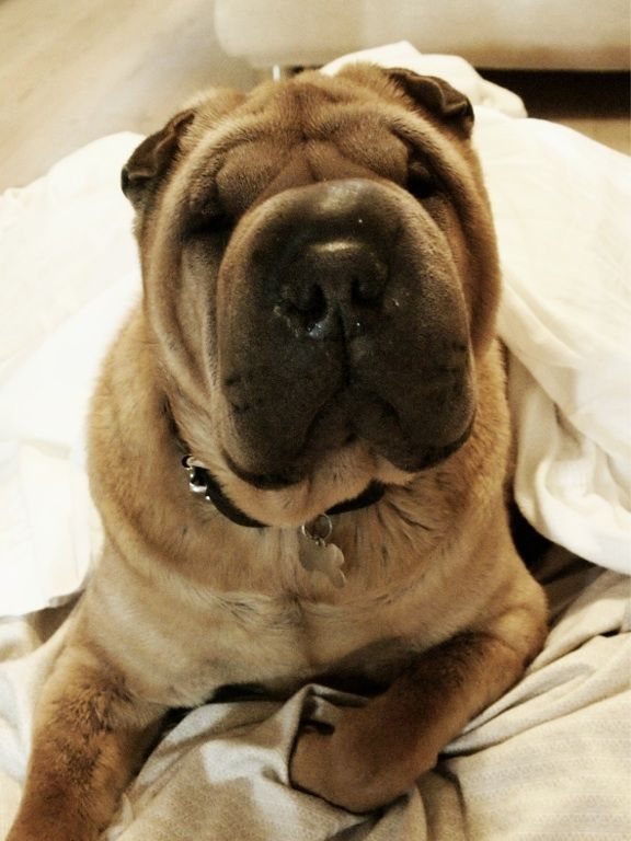 Shar pei!!! I put a Shar pei puppy on my Christmas list :)