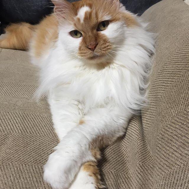 おはようございます . おてて#クロス して決めポーズ . #cat #catstagram #catoftheday #catsofinstagram #instagramcats #catoftheday #lovekittens #catlover  #ilovecat  #ilovemycat#catstagram #instacat #instacats #kawaii_cat#nyaspaper#猫好きさんと繋がりたい#愛猫 #保護猫#もふもふ#ふわもこ部#ねこ部#にゃんすたぐらむ#にゃんこ#ねこ#ねこまみれ#みんねこ#クロス祭