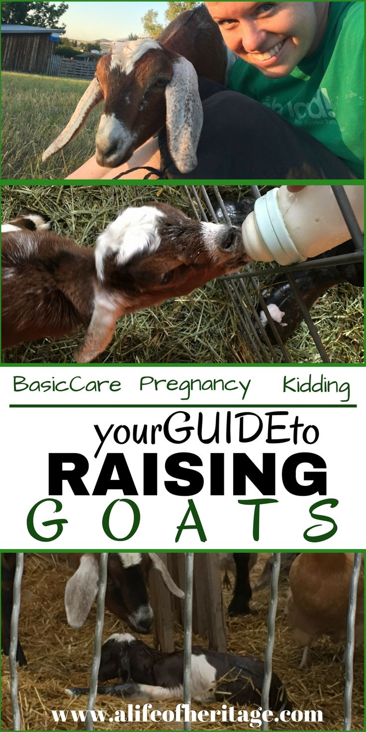 Raising goats for beginners and on. Basic care for goats, breeding goats, goat pregnancy and kidding. Your guide to raising goats.