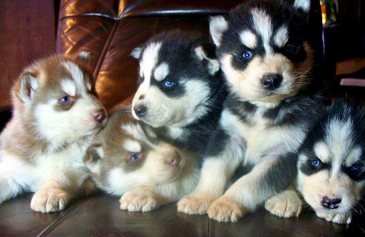 Cute siberian husky rottweiler mix puppies in 2020 with
