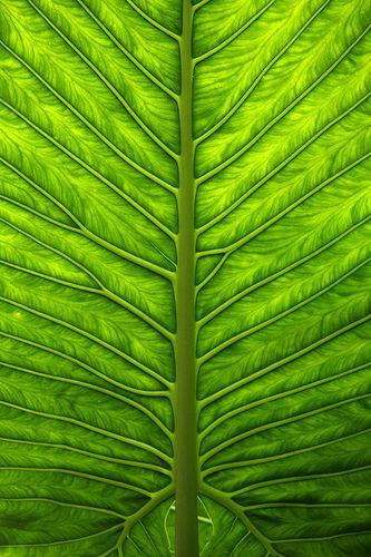 Nervuras de uma folha