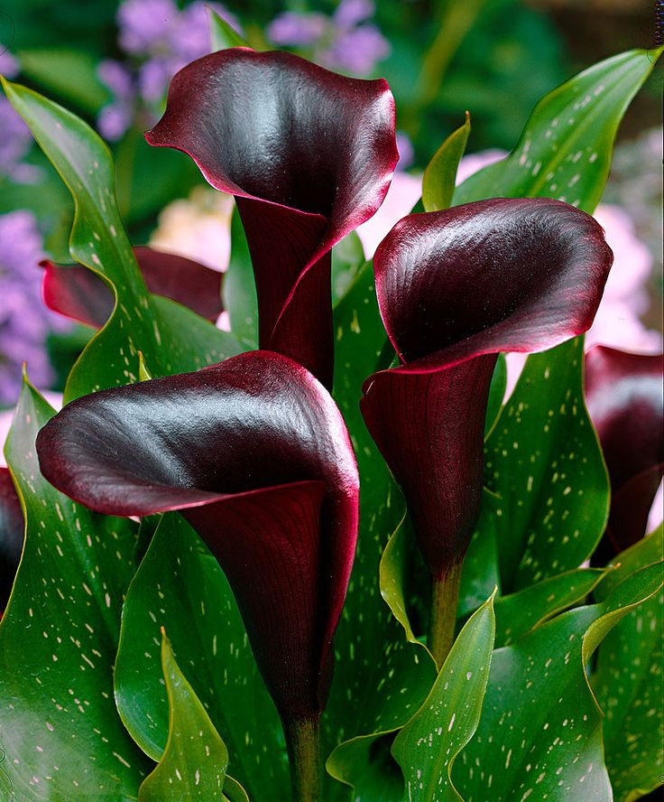 Black Calla Lily  ~  Mix just a few of these black lilies with some of the brighter lilies....just amazing!!