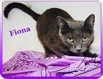 2/2017***Cuba, MO - Russian Blue. Meet Fiona, a cat for adoption. http://www.adoptapet.com/pet/17435845-cuba-missouri-cat