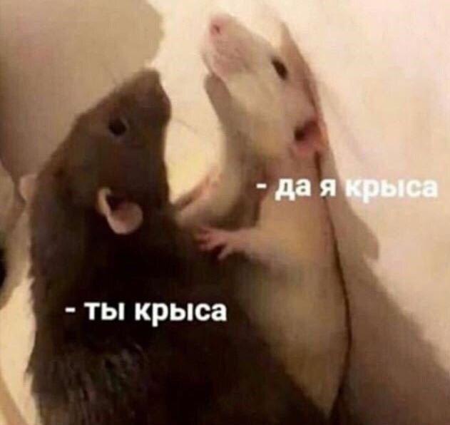 ты крыса да я крыса | Мемы, Смешные фотографии животных, Фотографии животных