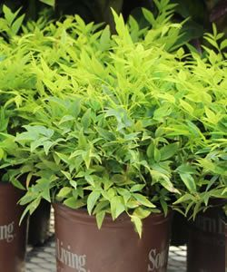 Lemon Lime Nandina - 1 Gallon - Shrubs - Deer Resistant - Buy Plants Online