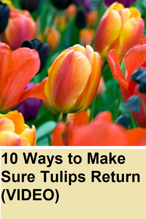 10 Ways To Make Sure Tulips Return Video 10 Ways Make Sure Tulips Return Flowers Tulips Deciduous Trees Plants