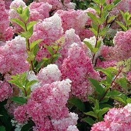 De grosses inflorescences coniques, roses et blanches, spectaculaires de l'été à l'automne.