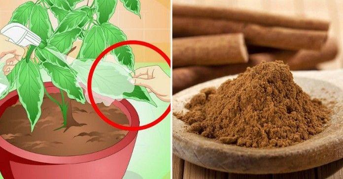 Všetci vieme, že škorica je chutná nie len v káve, pečive a množstve sladkosti, no vedeli ste, že je rovnako prospešná aj v záhrade? Toto korenie môže byť použite rôzne, zabráni plesni, pomáha sadeničkám a odrádza škodcov. Nebudete sa musieť spoliehať už len na chemikálie a to len vďaka štipke