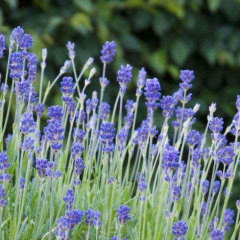 14 best plants to repel mosquitos images on pinterest for Best plants to keep mosquitoes away