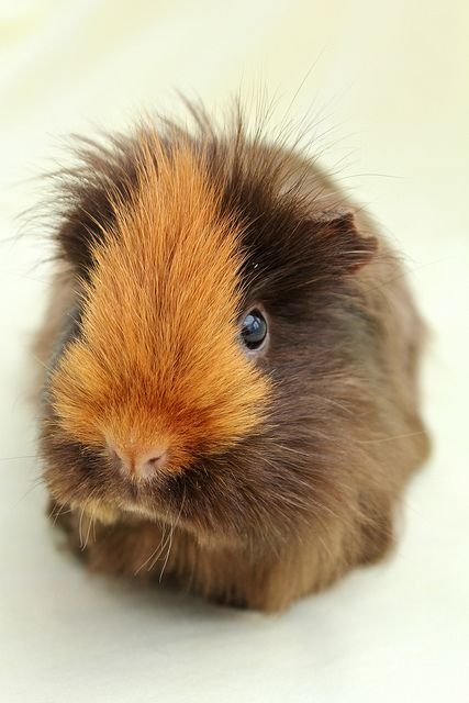 Guinea Pig | Flickr - Photo Sharing!