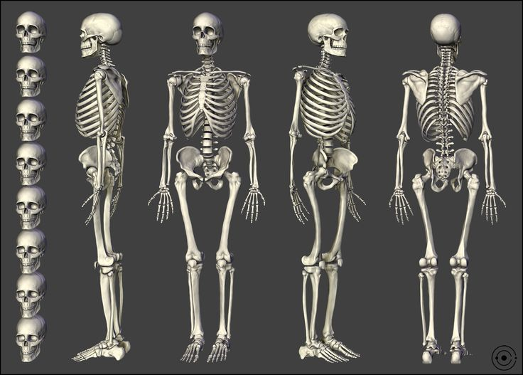 skeleton | anatomia | pinterest | skeletons and http://www, Skeleton