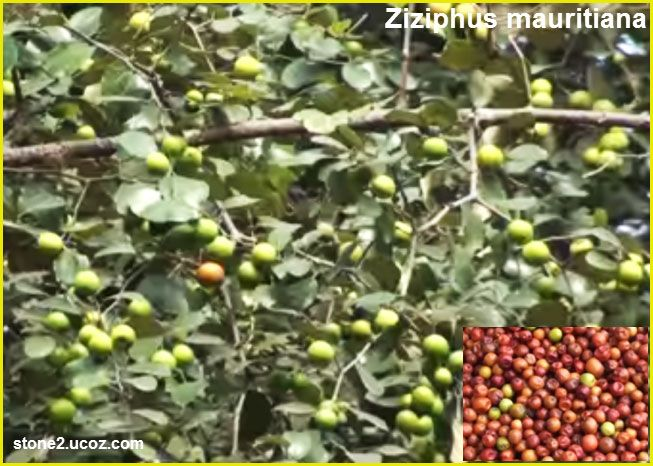انواع الزفيزف او السدر او النبق او الزفزوف Ziziphus قائمة الفواكهة النبات معلومان عامه معلوماتية Grapes Fruit Food