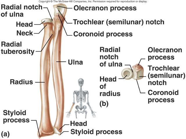25+ best ideas about radius bone on pinterest | radius and ulna, Skeleton