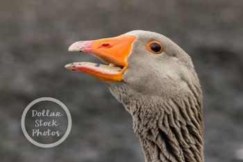 Stock Photo of a goose honking who looks like s/he is making an announcement.2400 x 1600 (8in. long 300 dpi)My promise to you: All photos in my Dollar Stock Photos TpT store will be taken by myself or my husband. I will follow the rules. I will post pictures taken in public places.