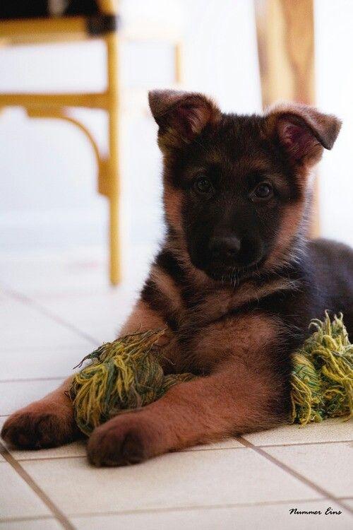 Red and black german shepherd dog - photo#24