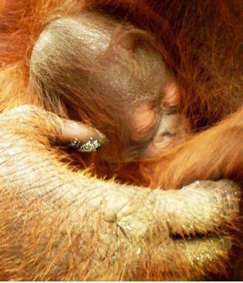 Newborn Orangutan