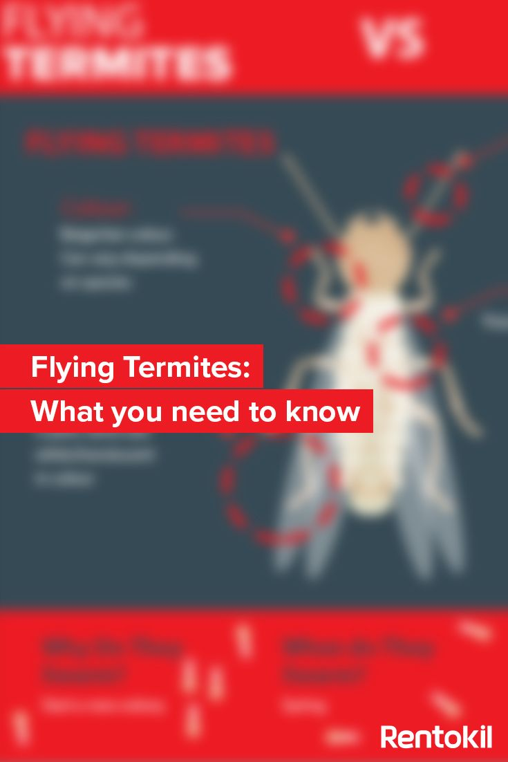 Find out everything you need to know about flying termites! #Termites #WhiteAnts