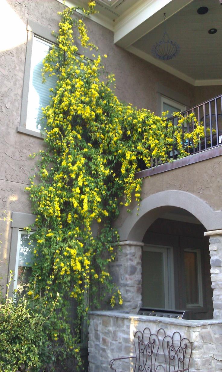 The 25 best carolina jasmine ideas on pinterest flowers for Pinterest gartenideen