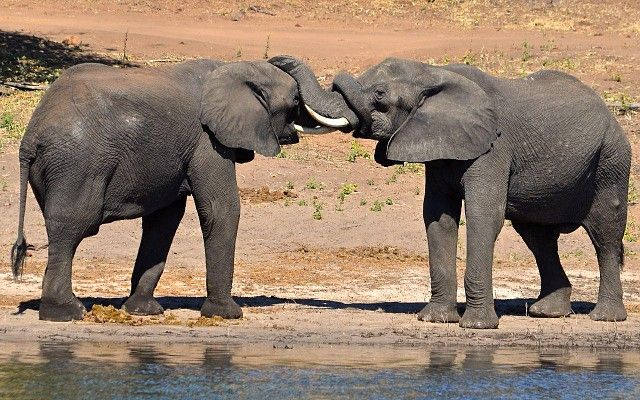 Elephant greeting on the Chobe River http://www.wilderness-safaris.com/explorations