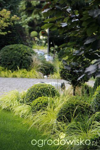 Ogród nie tylko bukszpanowy - część III - strona 21 - Forum ogrodnicze - Ogrodowisko