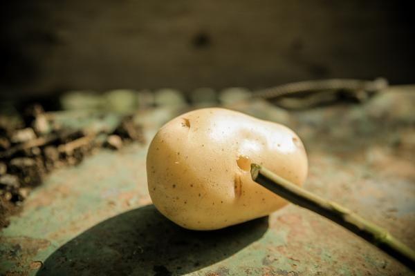 Es gibt mehrere Methoden Stecklinge von Rosen zu ziehen, doch ich finde die erfolgsversprechende ist mit Kartoffeln. Sie haben genau die Richtige Menge an Nährstoffen und Feuchtigkeit für Rosenstec...