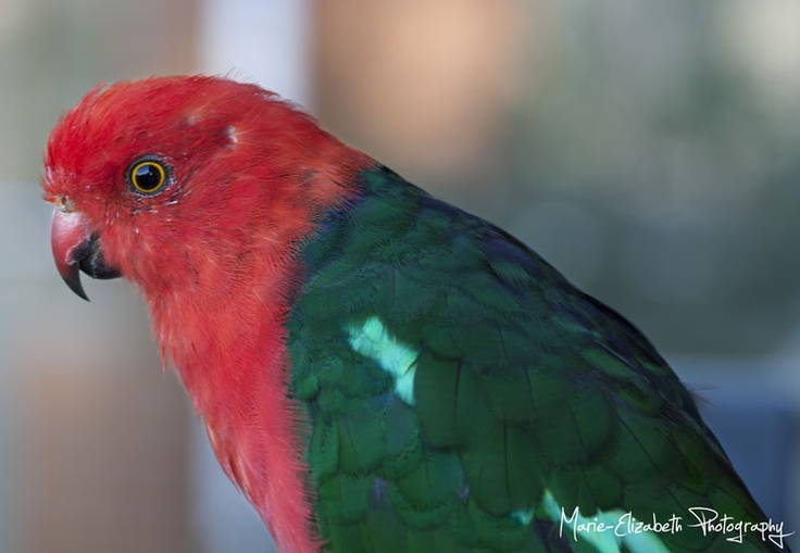 Male King-Parrot #Birds #Animals
