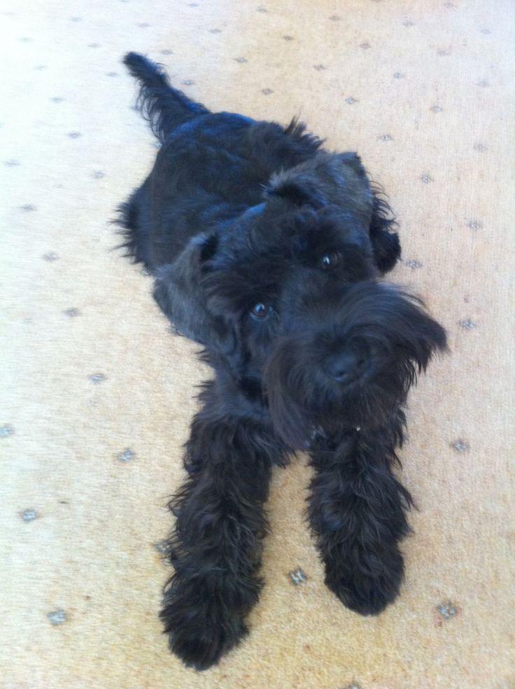 Black miniature schnauzer puppies (girls) | Ipswich, Suffolk ...