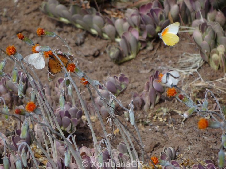 lots of butterflies everywhere after the succelent, aloe and cacti nectar