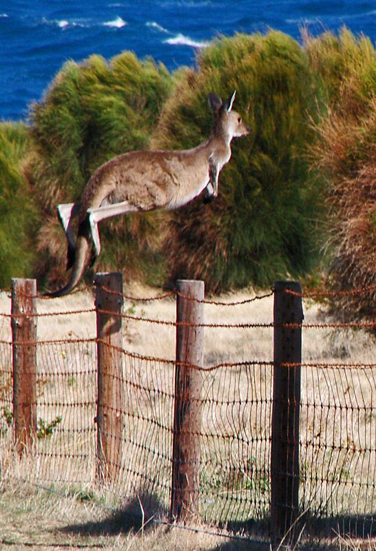 Kangaroo, Cape Jervis, South Australia. (They leap like this when they feel under threat. Kangaroos often prefer to move around on all four legs.)