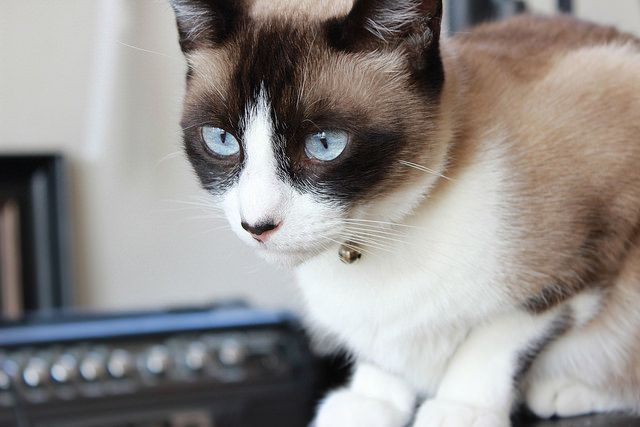 Snowshoe cats are not only possessed of stunning good appearance, but are also a breed of cat with sharp intelligence and all the personality you could wish for.