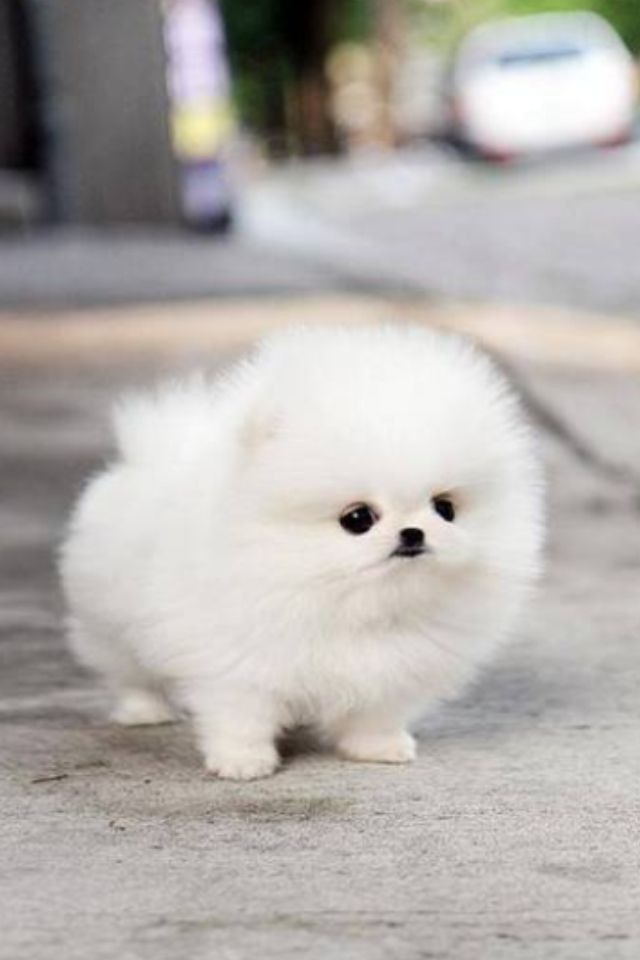 Teacup pomeranian puppies for sale in South Africa ...
