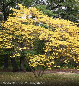 Eastern Redbud trees are yellow in the fall and pink in April. arborday.org