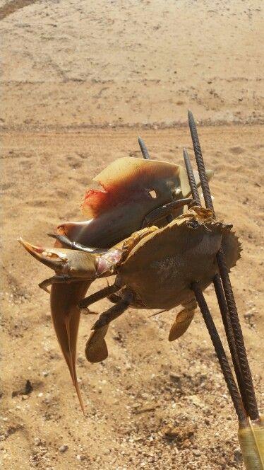 Hunting. Shovel nose shark and crab