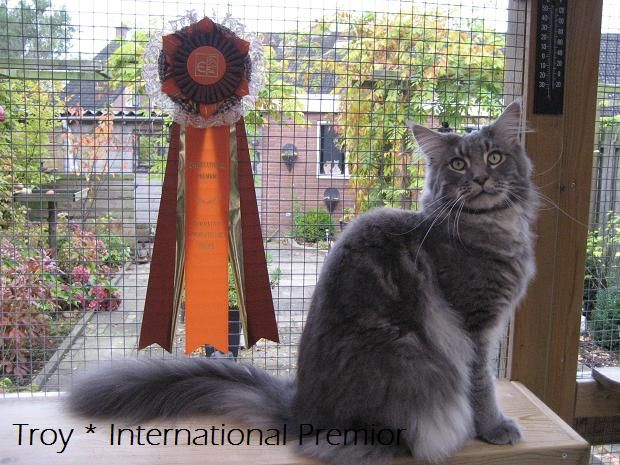 Maine Coon, blue tabby blotched (a 22). NL* IP.Lady Like Atomic Actroy. Photo by #elliekruithof